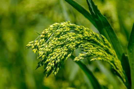 What You Need to Know About Growing Millet - Millet is a fast-growing late-season crop, is easily adaptable in the kitchen and outstrips many more common grains as a nutritional powerhouse - MOTHER EARTH NEWS