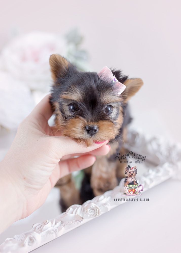 Yorkie Puppy For Sale Teacup Puppies 163 D In 2020 Yorkie Puppy Teacup Puppies Yorkie