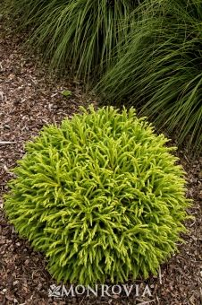 Dwarf Japanese Cedar - Monrovia -Slowly forms a dense dome 2 to 3 ft. tall, slightly wider; 4 to 8 ft. tall with age. W