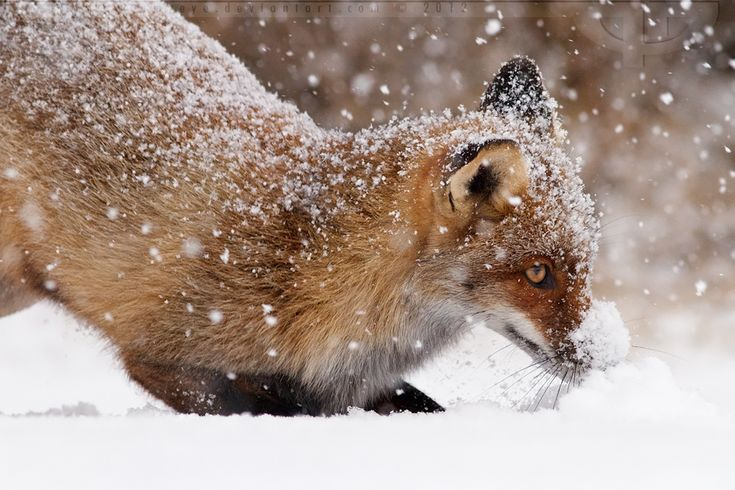 Snow Fox: Animal Photography, Snow Foxes, Beautiful Foxes, Snowplowfoxbi Thrumyey, Roeselien Raimonds, Animal Favorite, Red Foxes, God Creatures, Foxy Foxes