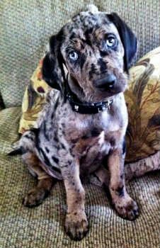 Catahoula Leopard Dog Photos Pictures Dogs Page 8 Animal Pinterest And Breeds