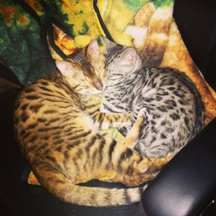 My friend recently adopted two Asian Leopard Cats...Reddit, meet Henry and Oscar - Imgur