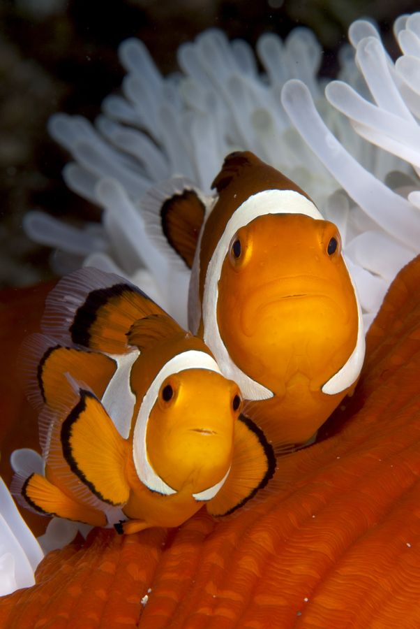 Clownfish (amphiprion ocellaris) in white and red anemone. Photo copyright Luca Vaime http://500px.com/photo/5081094