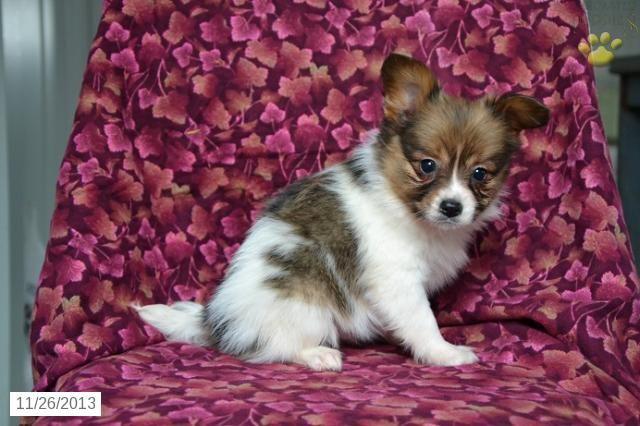 Heidi - Papillon Puppy for Sale in Sugar Creek, OH - Papillon - Puppy for Sale