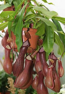 Pitcher Plants.  Great at killing house flies.   Read the review