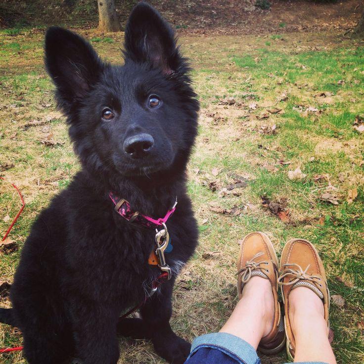 Beautiful GSD pup!