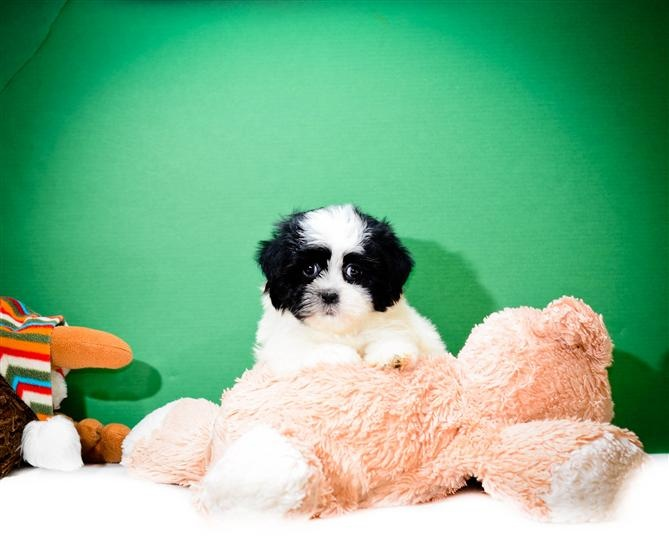 Mario is one of our HAVANESE PUPPIES FOR ADOPTION NEAR TOLEDO OHIO!!!! Mario enjoys playing video games with his friends all day long. His favorite game is mario kart. He is all ready for a loving family to bring him home.   http://affordablepup.com/puppies/Havanese/Male/Mario