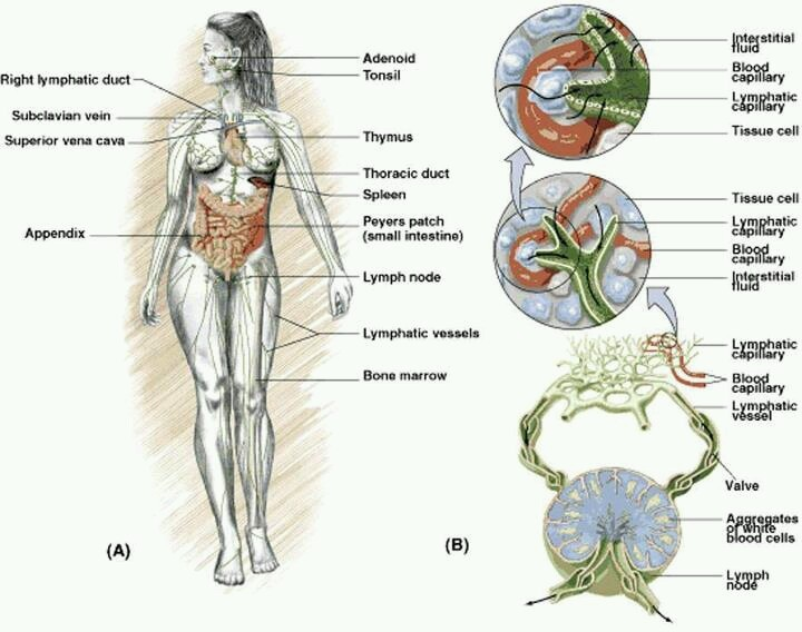 32 Best Lymphatic System Images On Pinterest Lymphatic System