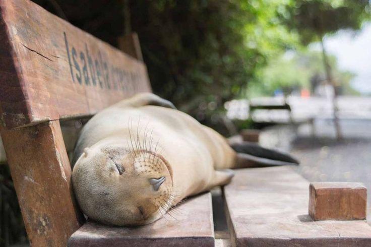 Petite sieste sur un banc: ce lion de mer des Galápagos est littéralement exténué. La pauvre maman s'est occupée de sa progéniture toute la journée. Elle s'octroie désormais un peu de repos.