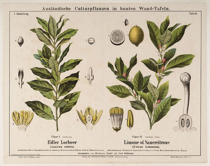 Laurel and lemon, Laurus nobilis, Citrus limonum, 1905