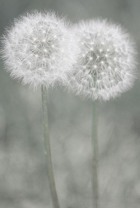 Dying Dandelion