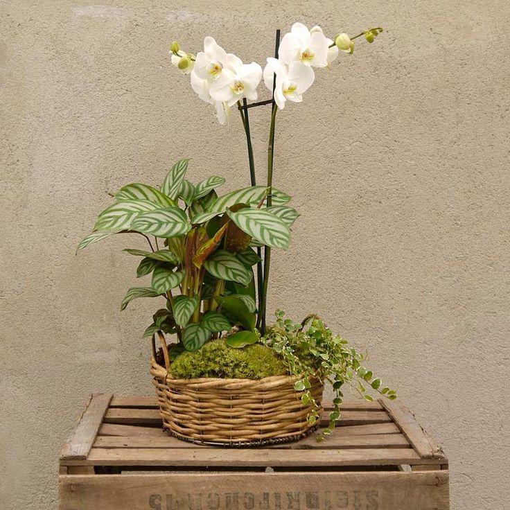 Un regalo de flores de lujo. Este grandioso centro de orquídeas phalaenopsis es de lo más especial y un regalo muy típico de nuestra floristería. Está compuesto por una orquídea phalaenopsis de 80 cm de altura acompañado por plantas para aportar volumen y decorado con musgo. Está pensado para aquellos que quieren hacer un envío de un arreglo de plantas un poco más especial que una única orquídea.