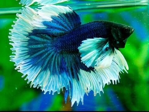 Big ear blue hm butterfly aloha bettas pinterest for Big betta fish