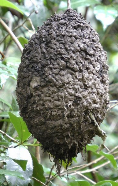 green forest ant nest