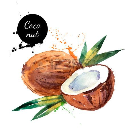 Hand drawn watercolor painting on white background. Vector illustration of fruit coconut