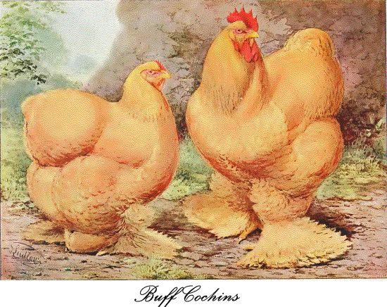 Buff Cochins poultry  M.J.Mavridis DVM