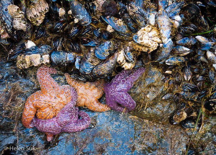 Starfish and mussels on North Chesterman Beach - Tofino, BC, Canada.