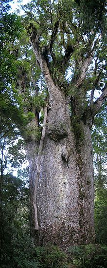"""Te Matua Ngahere """"Father of the Forest"""" is a giant kauri (Agathis australis) coniferous tree in the Waipoua Forest of Northland Region, New Zealand."""