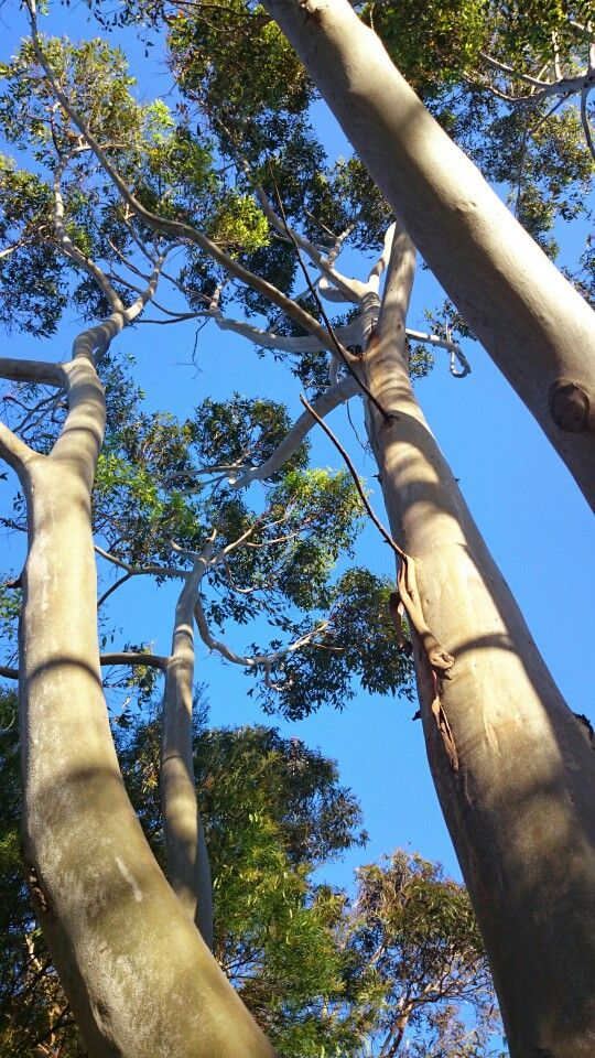 Gum trees and blue sky. This is Australia.