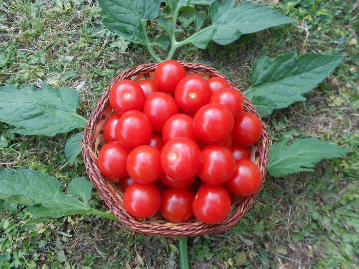 Mexikanische Honigtomate 10 Samen -Zuckersüß- ***Momentan teuersten Tomaten-Sorten***: Amazon.de: Garten