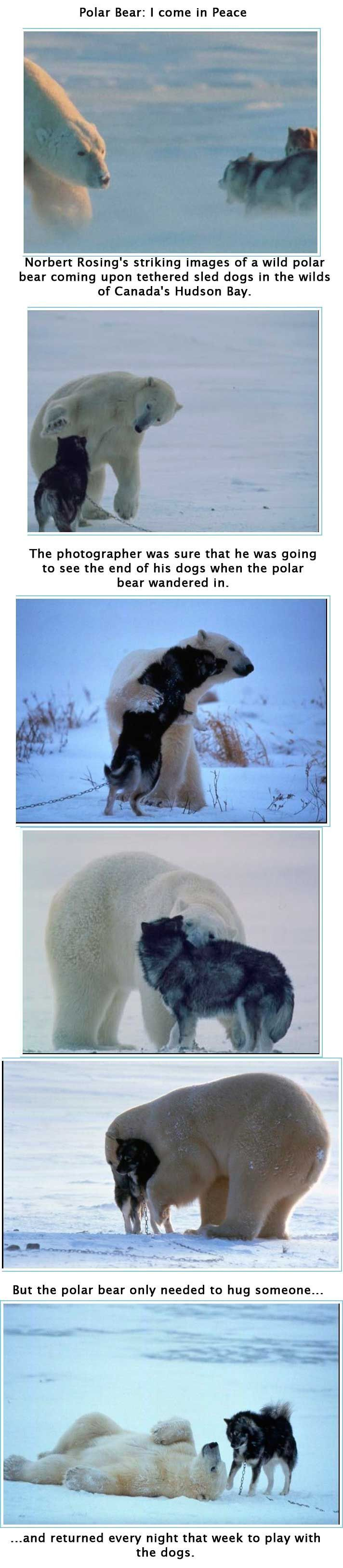 This is amazing... polar bear meets dogs.