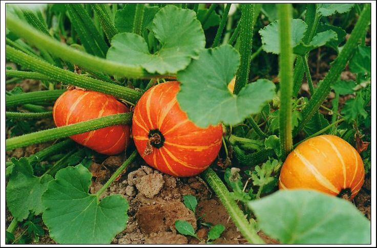 Выращивание тыквы   6 соток