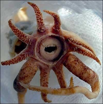 The Squid with Teeth (Promachoteuthis Sulcus). What appear to be teeth are actually lips that cover the more normal squid beak.