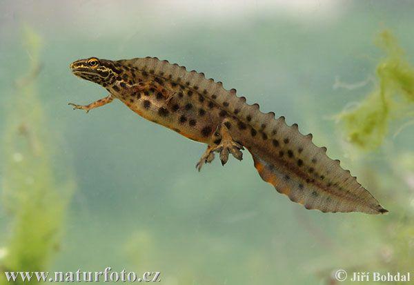 """Čolek obecný (Lissotriton vulgaris) - samec má v době páření na hřbetě nápadný """"hřeben""""."""
