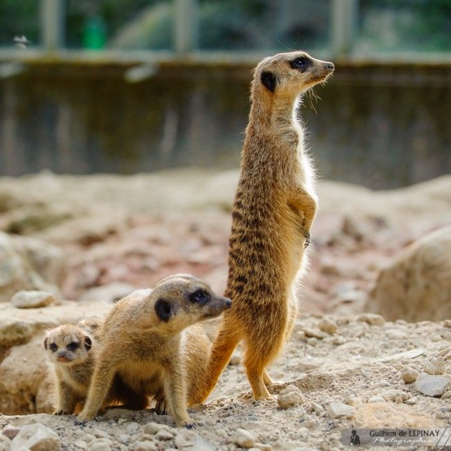 bébé-suricate-Zoo-Mulhouse-photographe-Guilhem-de-Lepinay-11