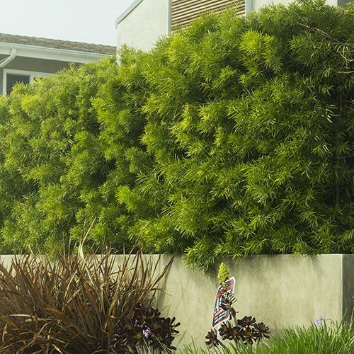 Fern Pine (Podocarpus Gracilior) | Budget Plants
