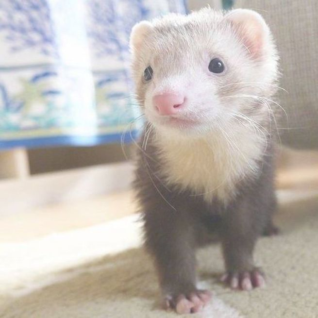 Ferrets Are Playful And Curious Hurones Mascotas Exoticas Animales Pequenos