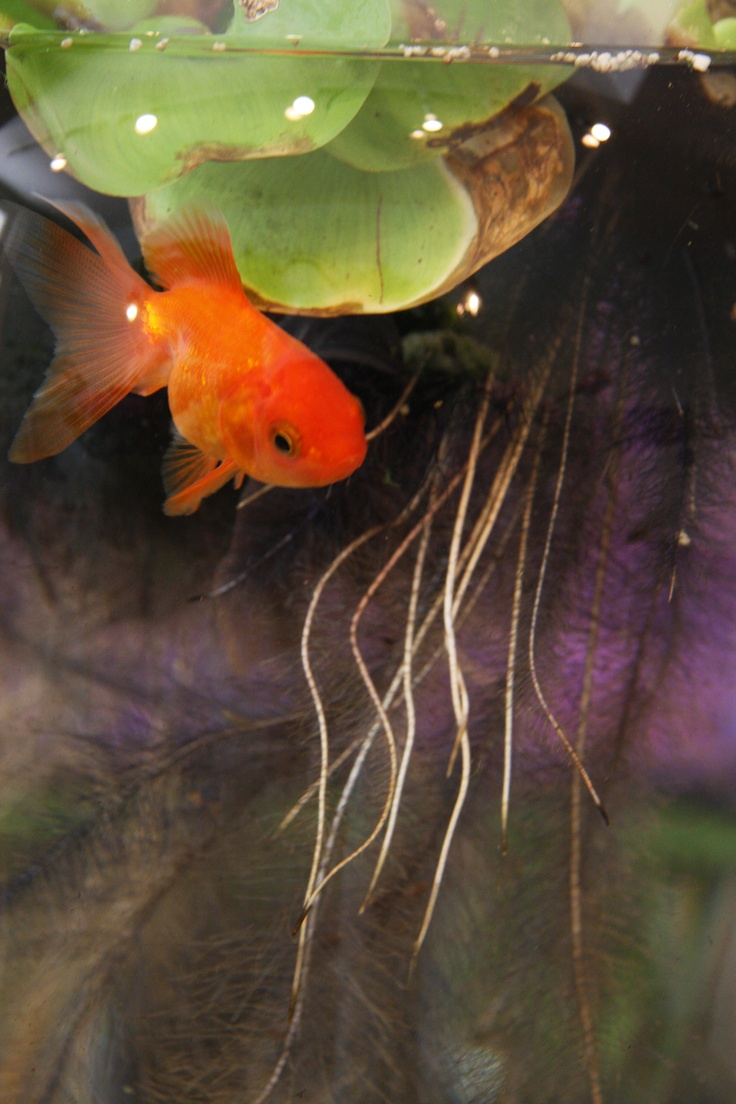 544 best goldfish cold water aquarums images on pinterest for Cold water pet fish