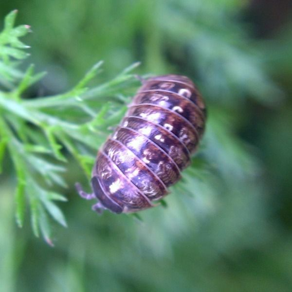 Pill Bug Sow Bug Rolly Polly Woodlouse  How to