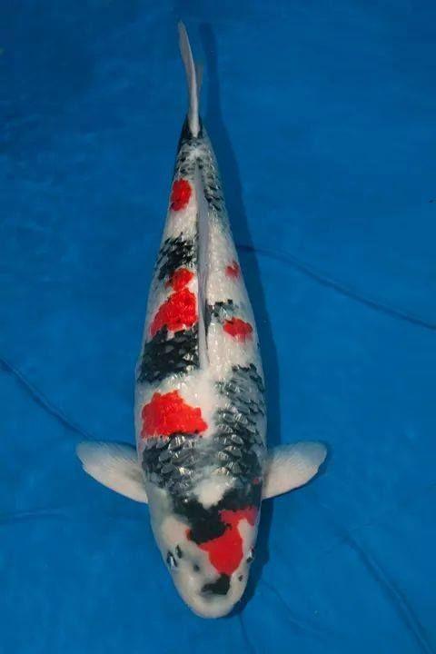 42 best ginrin koi glitiring images on pinterest koi for Champion koi fish for sale