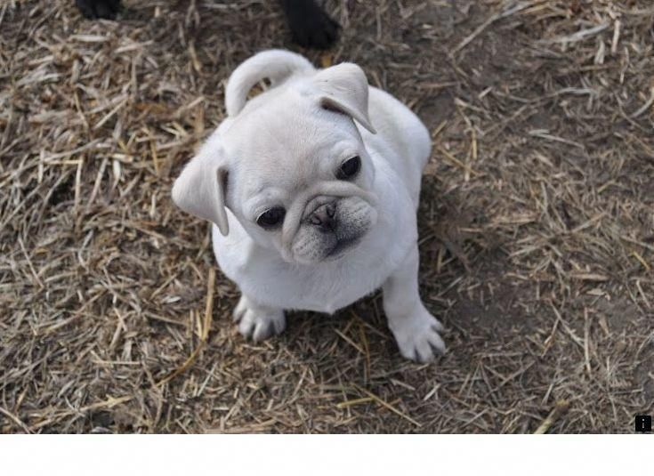 Get Wonderful Tips On Pugs They Are Offered For You On Our