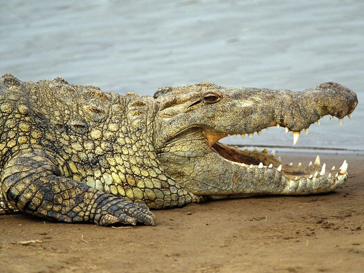 African Nile Crocodile | Nile crocodile (Crocodylus niloticus) is a common African crocodiles ...