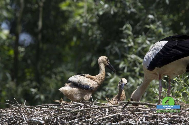 Cicogna con pulli - White stork with chicks