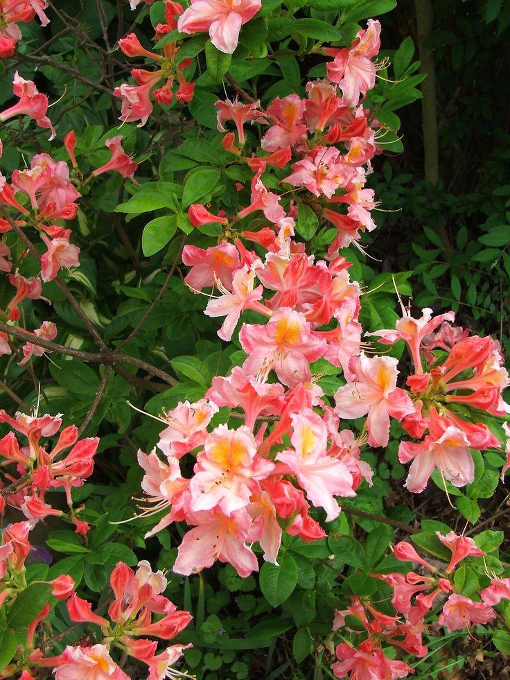 Azalea Spring Pink c2015 / Melanie Petridis / Slippery