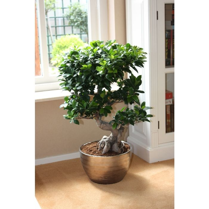 best 25 ficus microcarpa ideas on pinterest ficus. Black Bedroom Furniture Sets. Home Design Ideas