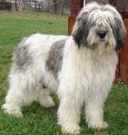 Romanian dog breeds