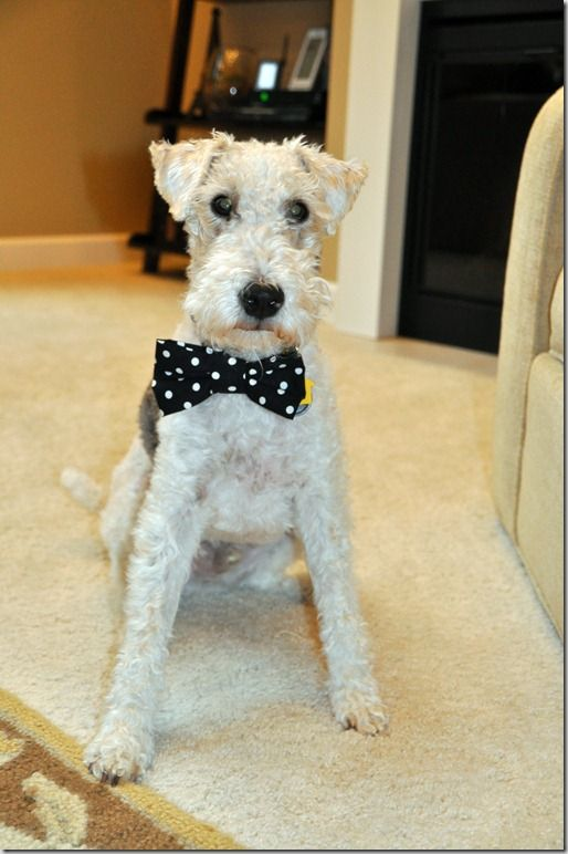 Instructions for his to make a bow tie for your dog.