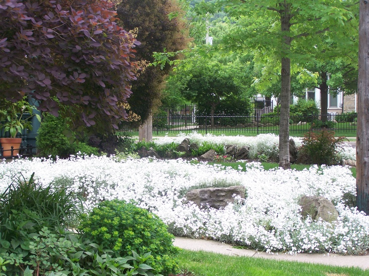 Spectacular Cerastium: Perennial Common name - Snow in Summer makes a  beautiful foil for rock gardens.  An old fashioned spin made new again.