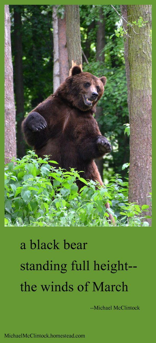 Haiku poem: a black bear-- by Michael McClintock. | Haiku ...
