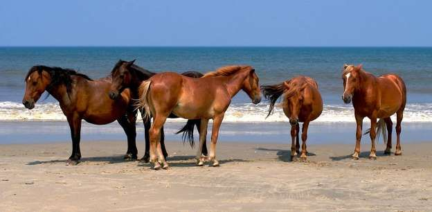 This wide, unspoiled Outer Banks beach has an added attraction: herds of wild Mustangs (descended fr... - Provided by PureWow