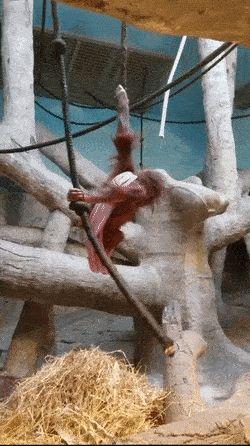 Baby Orangutan Treadmill! http://ift.tt/2luV3Tc