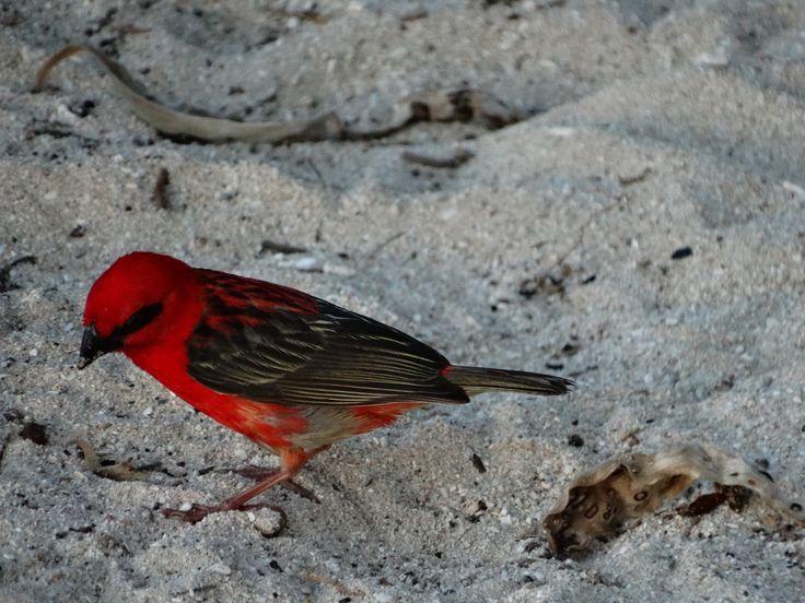 red little bird, Mauritius