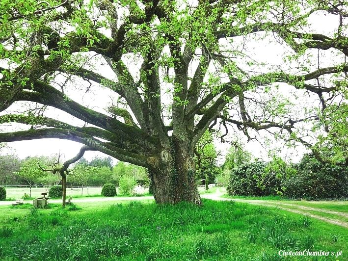Notre chêne tricentenaire   #tree #oak #nature #old #beauty #phenomen #chêne #arbre #green #greenlife #extraordinary #inspirational