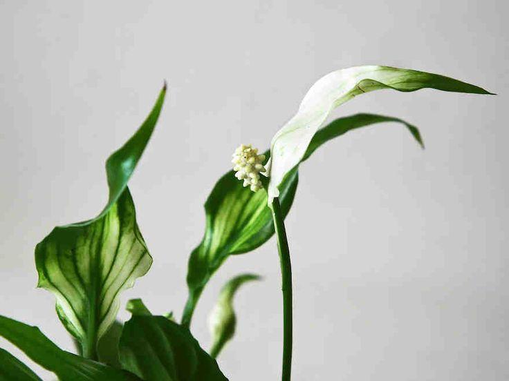 Ilmaa puhdistavat huonekasvit