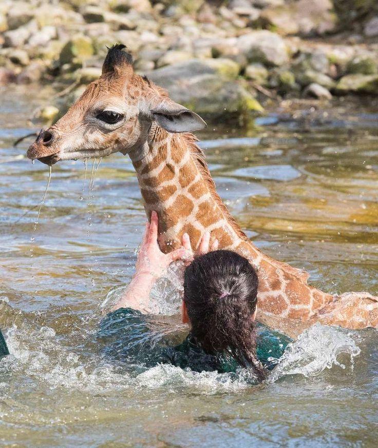 ALARM IM ZOO Pfleger retten Giraffenbaby aus Wassergraben