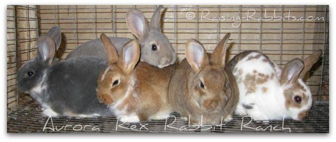 Aurora Rex Rabbits for sale. Pet, show, meat rabbits for sale.